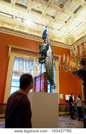 St Petersburg, Russia, Dec 1, 2016: Man look at the peacock on the sceleton near painting in Hermitage  Exhibit of temporary modern art exhibition