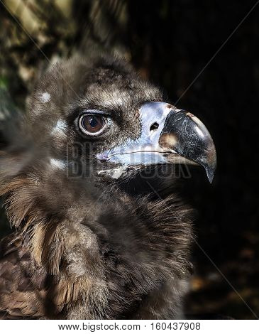 Cinereous vulture, black vulture or monk vulture portrait close up