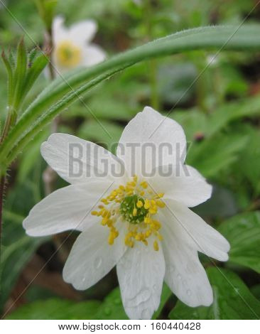macro photo of primroses - beautiful flowers of the wood Anemone with delicate white petals on a background of forest green and fresh drops of rain as the source for design and art print
