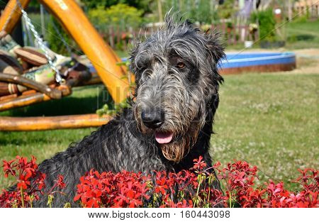 Portrait Of Beautiful Grey Irish Wolfhound Dog Posing In The Garden. Happy Gray And Black Dog Sittin