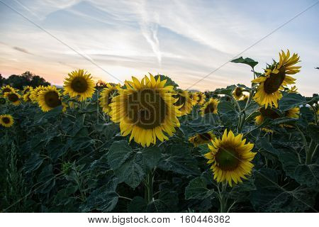 Blooming big sunflowers (Helianthus annuus) plants on field in summer time. Flowering bright yellow sunflowers background. Rural scene. Sunflower field in Slovakia at sunset