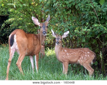 Doe Mule Deer And It's Fawn
