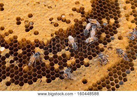 honeycomb background. honey bee on honeycomb background