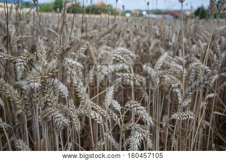 Close up of ripening yellow wheat ears on field at summer time. Detail of golden wheats (Triticum) spikelets. Rich harvest