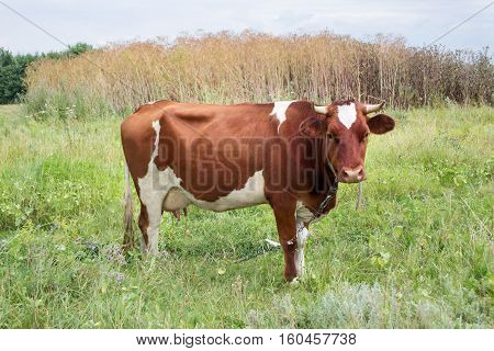 One brown cow on a summer meadow