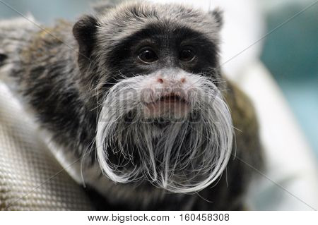 An Emperor Tamarin perched on a branch