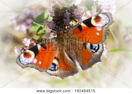 a peacock butterfly with wings spread out