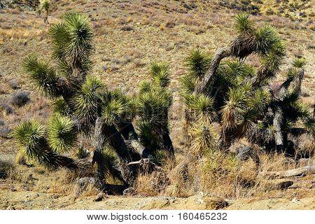 Cluster of Joshua Trees surrounded by Sagebrush taken in the Mojave Desert, CA