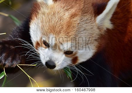 close up of head of red panda
