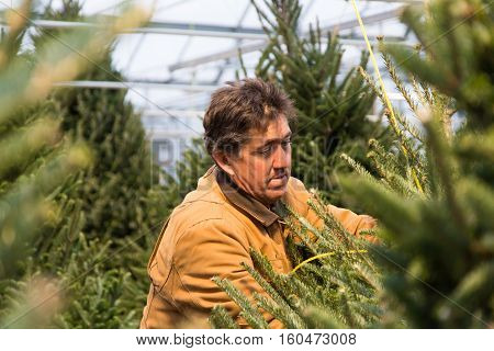 a man surrounded by fresh cut Christmas trees hanging in a greenhouse reaches in to untie one.