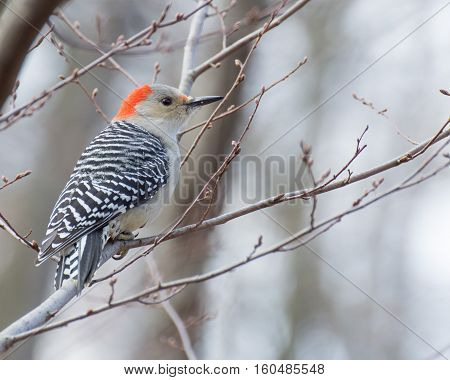 Male red-bellied woodpecker perhed on a tree branch.