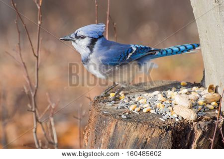 A Blue Jay perched on tree stump with bird seed and peanuts.