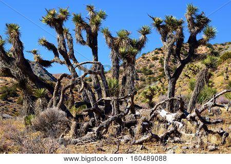 Cluster of Joshua Trees taken in the Mojave Desert, CA
