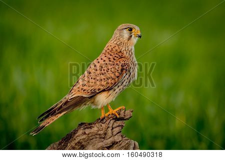 Beautiful bird of prey on a trunk with a natural green background