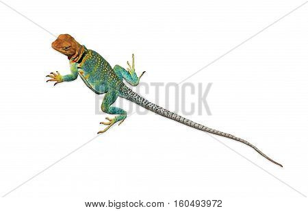 White, neutral  background of a collared lizard