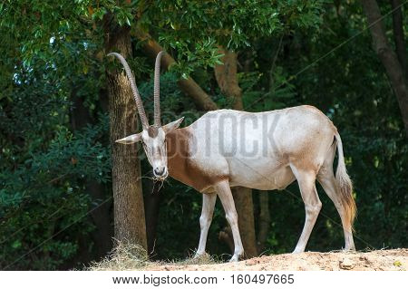 A white and brown scimitar horned oryx