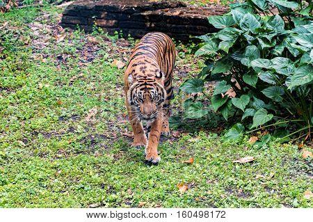 A Sumatran tiger walking around its area