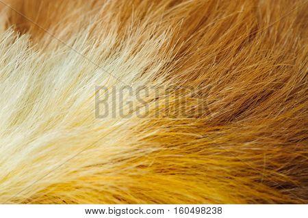 One guinea pig merino pelage closeup image