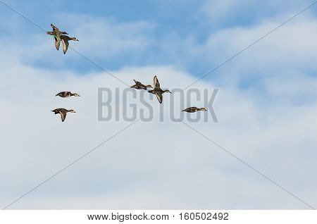 Green-Winged Teal Flying with Flock of Ring-Necked Ducks in Cloudy Sky