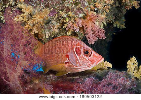 Giant squirrelfish, Sargocentron spiniferum, with soft corals at the background.