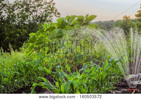 Evening watering plants in the summer garden. Falling drop in dynamics. Irrigation garden sprinkler. Photo with limited depth of field.