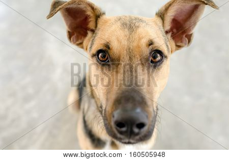 Dog staring is a big beautiful funny looking German Shepherd puppy dog looking right at you with those big brown eyes.