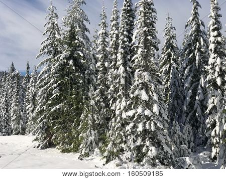 Towering fir trees covered in snow in the Willamette National Forest in Oregon on a winter day.