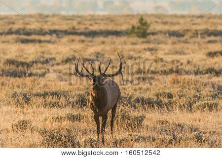 a bull elk bugling in the fall rut