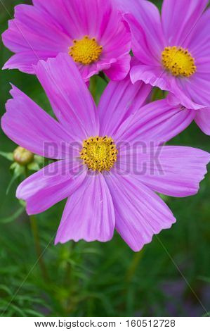 Closeup of beautiful pink Flowers. Pink Flower Heads