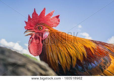 close up portrait of bantam chicken Beautiful colorful