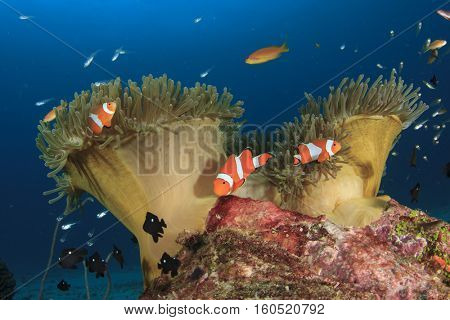 Clownfish Anemonefish tropical fish and corals