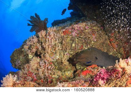 Giant Moray Eel on coral reef