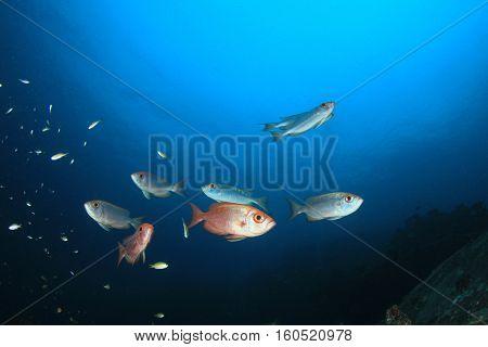 school of red Bigeye fish