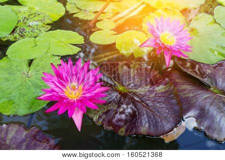 Beautiful pink lotus in the pond background.