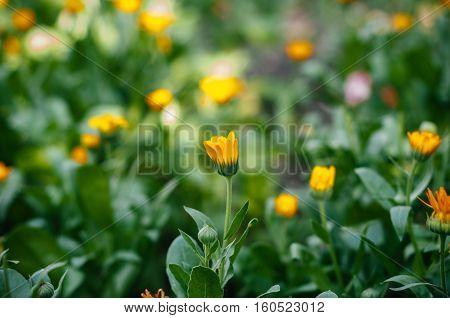 Field of suculent and healthy Calendula flowers in organic bio garden calendula officinalis