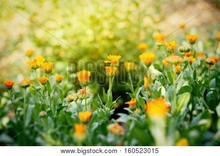 Field of suculent and healthy Calendula flowers in organic bio garden calendula officinalis