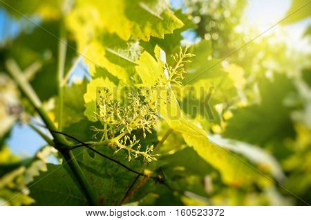 Organic agriculture - grape buds early in the summer promising a good harves