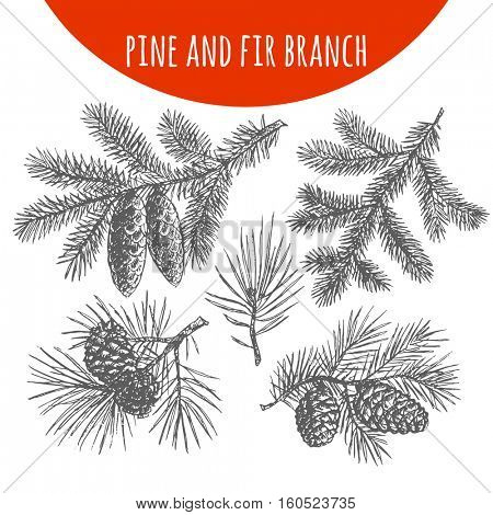 Christmas pine, fir tree branches and cones sketch. Hand drawn pencil drawing elements for vector Christmas and New Year design