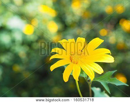 Tree marigold Mexican sunflower Nitobe chrysanthemum (Tithonia diversifolia)