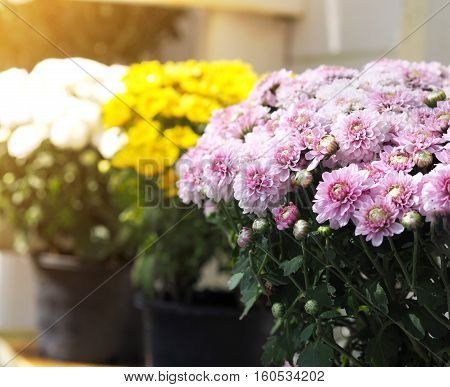 Close up pink chrysanthemum flowers in flowerpot.