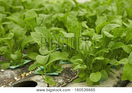 green hydroponic vegetable in farm. natural, phonic,