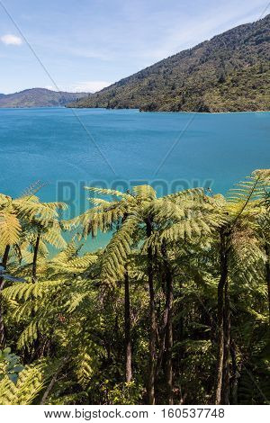 silver fern forest on New Zeland coastline in Marlborough Sounds