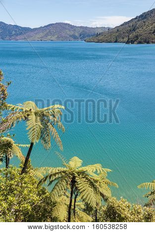 silver tree ferns growing on coast in Marlborough Sounds, New Zealand