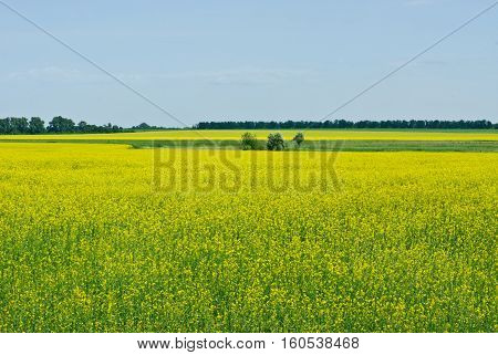 Rape field and blue sky nature background