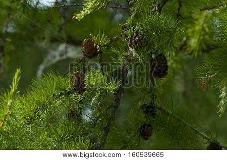 Larch branch with brown cones and green needles a closeup