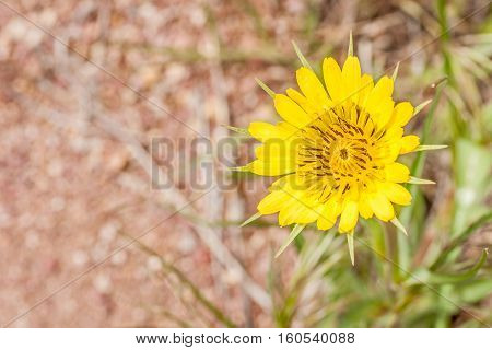 Found in 45 states the Yellow Salsify is considered an invasive weed in many areas