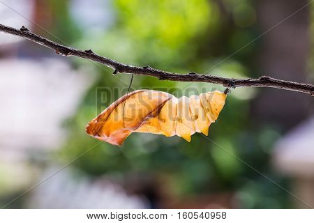 Golden Birdwing Butterfly Pupal Case