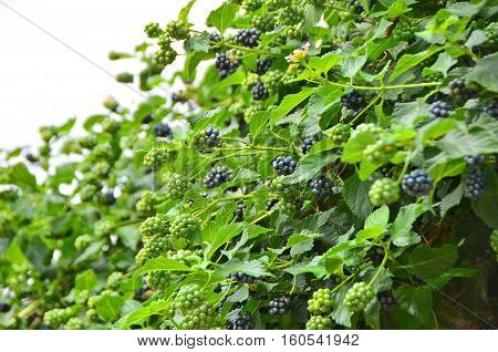 Blackberry (rubus) branch with green leaf and berries