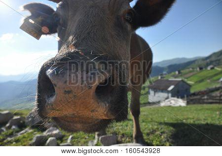 Grazing cows in Georgia. Lesser Caucasus. Seasonal village high in the mountains.