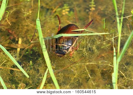 Water Beetle In Natural Lagoon